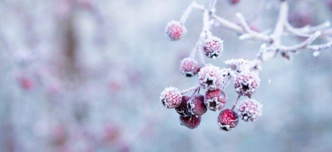 Cranberries on a frozen branch