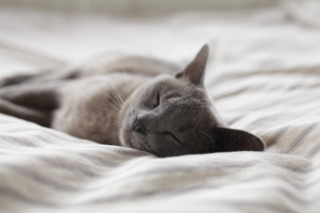 Sleeping gray cat