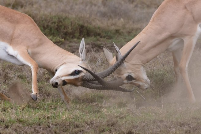 Two antelope butting heads