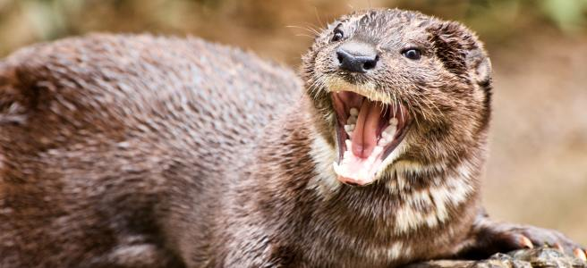 An angry otter